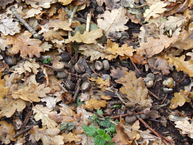 The Remains of the Acorns