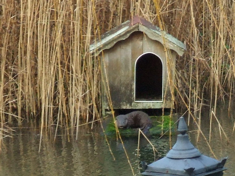 Otter on the Duck House Ramp