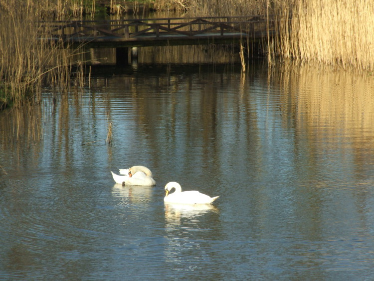 Swan Ablutions