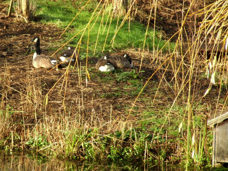 Geese On The Island