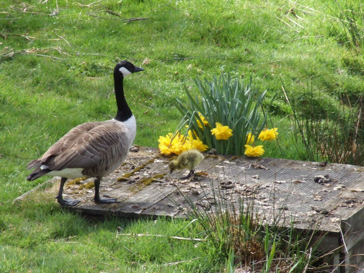 """Daddy"" Goose and Gosling"
