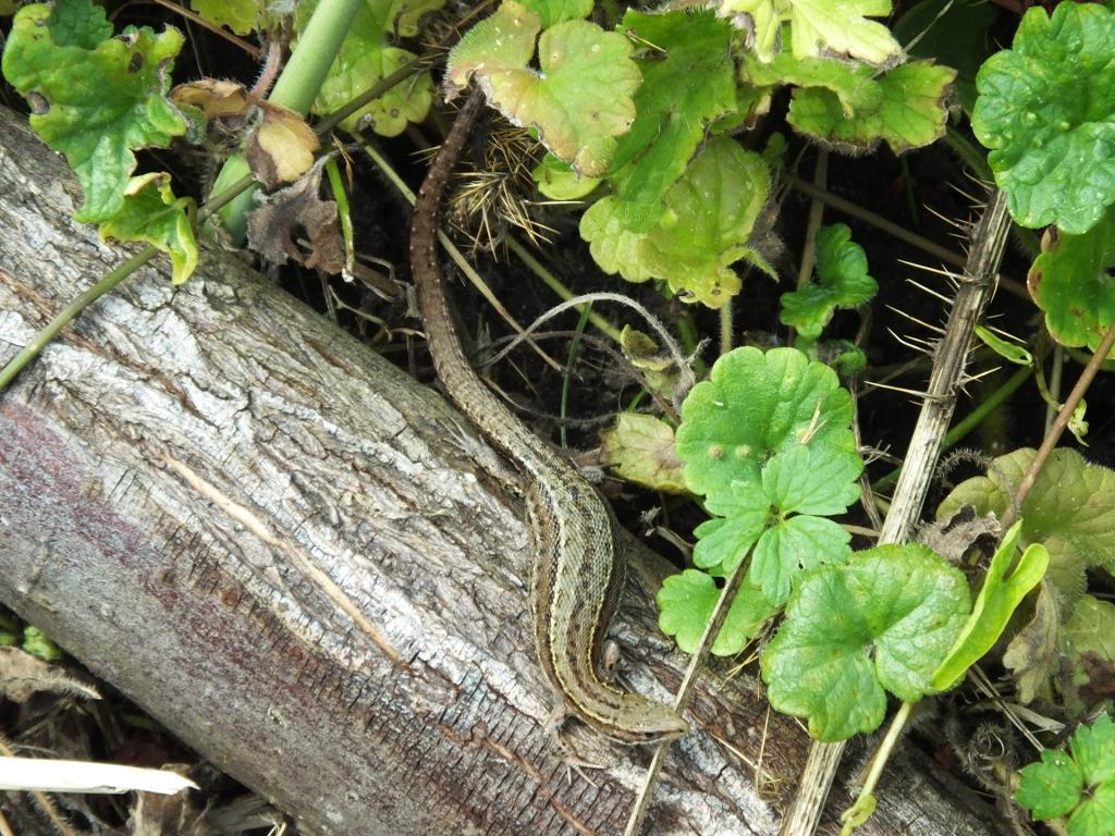 Lizards on Path Edge