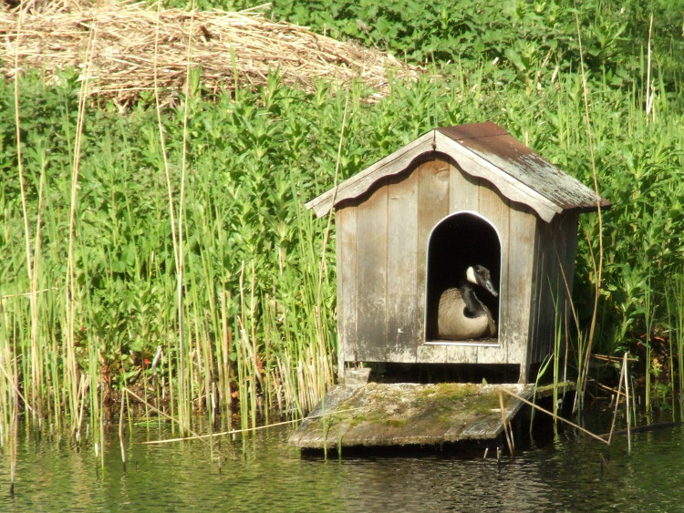 Duck House in use