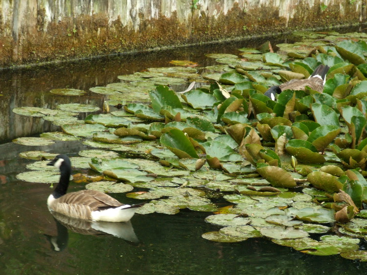 Geese in Lillies