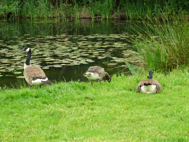 Young Goose and Parents