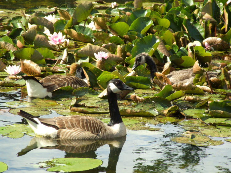 Geese by Lilies