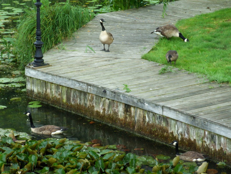 Geese on the Garden