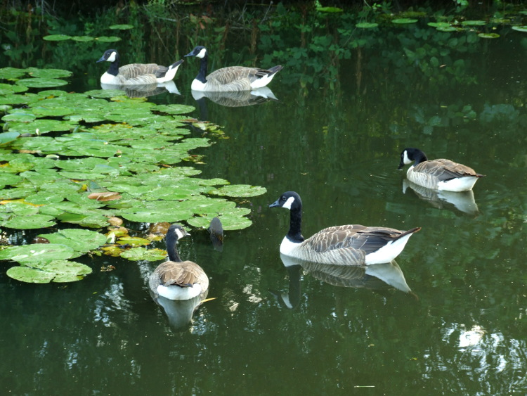 Five Canada Geese