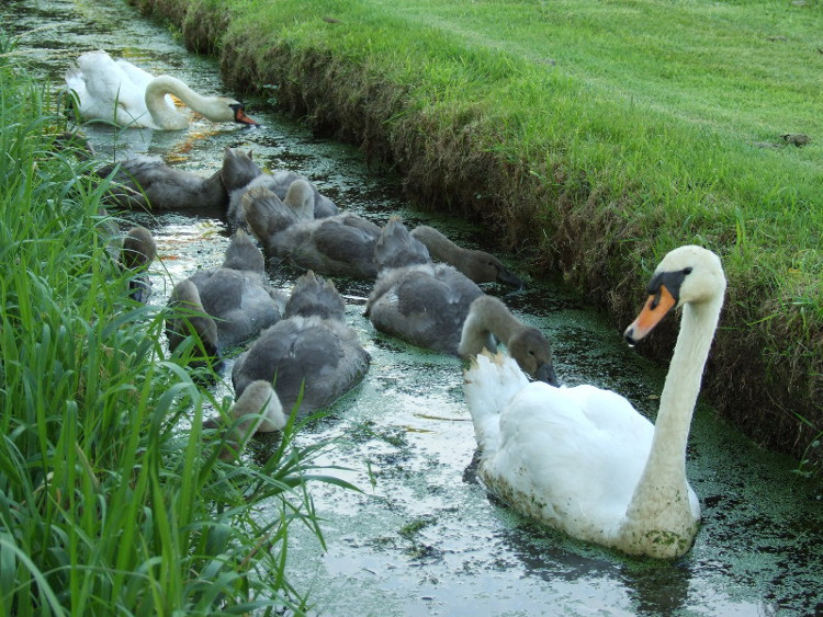 The Swan Family in the Dyke