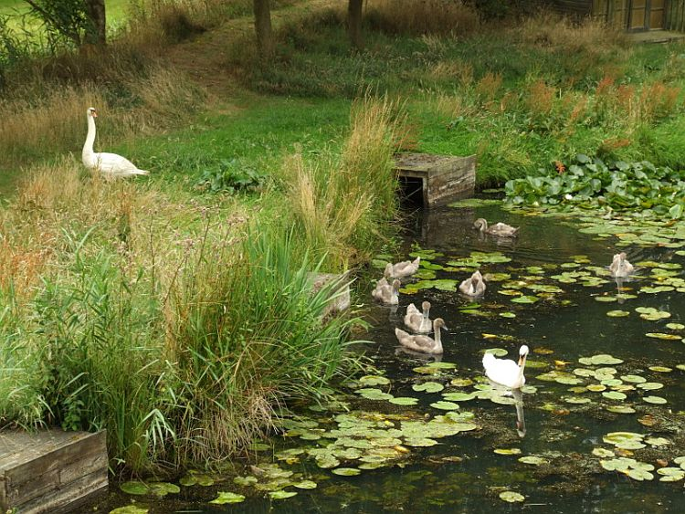 Swans Leaving the Lake