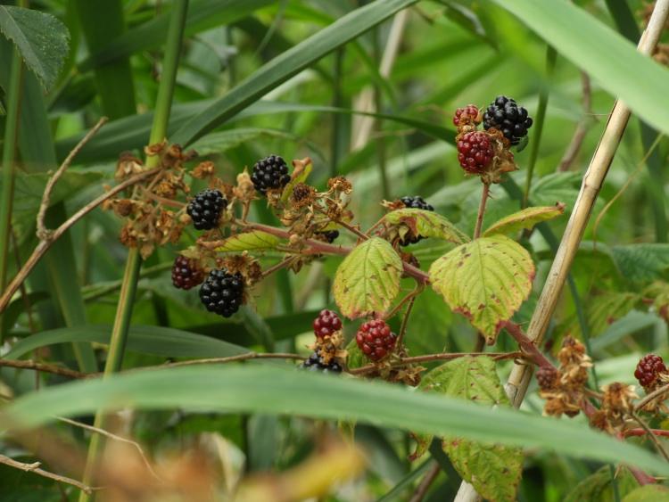 Blackberries - a few!