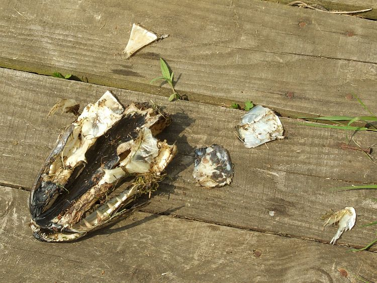 Pike Head and Bones